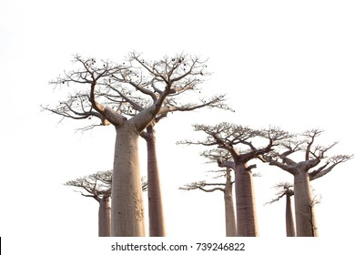 Baobab tree isolate on white background