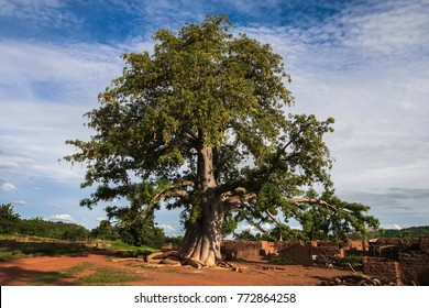 A baobab tree with leaves in a village in Burkina Faso - adansonia digitata - horizontal