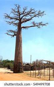 Baobab tree on the Avenue of the Baobabs in the bush outside Morondova, Madagascar