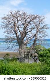 Baobab tree on a beach on Mayotte island, France
