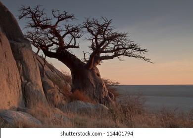 Baobab tree on Kubu Island in Botswana