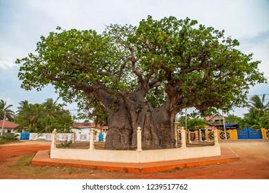 Baobab Tree Pallimunai, Mannar Island, Sri Lanka