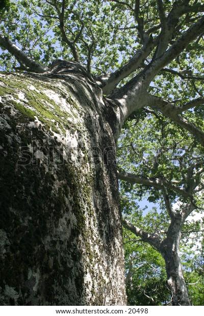 Baobab Tree Reaching up to Sky