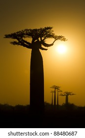 Baobab tree at sunrise, Baobab Alley, Morondava, Madagascar
