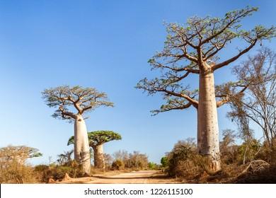 Baobab trees along the track towards Morombe, Southwestern Madagascar