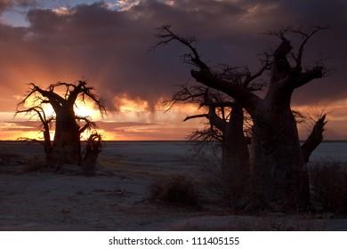 baobab trees in botswana