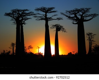 Baobab trees in Madagascar.
