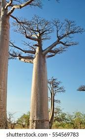 Baobab trees near the Avenue of the Baobabs at twilight, near Morondova, Madagascar