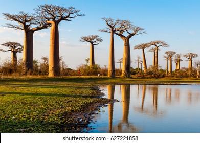 Baobab trees near Morondava Madacascar