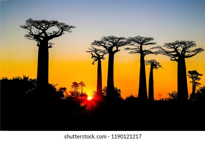 Baobab trees sunset silhouettes view. Baobab sunset silhouette alley. Baobab sunset trees silhouettes. Sunset baobab trees silhouettes view