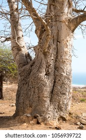 Baobab Trees at Wadi Hinna near Salalah, Dhofar, Sultanate of Oman. Tabaldi Baobab is a rare, large and endangered tree which is protected in most countries, including the Sultanate
