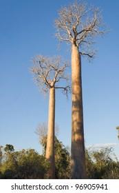 Baobabs between Morondava and Belo sur Tsiribihina, western Madagascar