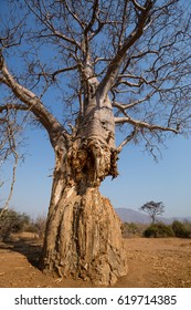 Baobabs on the road near south luangwa NP