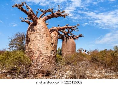 Baobabs trees near Andavadoaka, western Madagascar