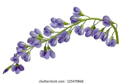 Baptisia australis Blue Wild Indigo, False Indigo flower isolated on white