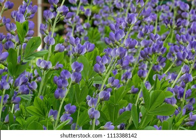 Baptisia australis, commonly known as blue wild indigo or blue false indigo on a cloudy day in the garden. It is a flowering plant in the family Fabaceae and is toxic.