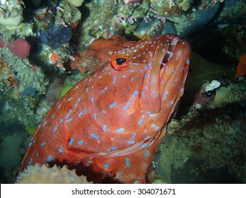 Bar Cheek Coral Trout - Plectropomus maculatus or P.leopardus on a clear reef in 20 m in Marmion Marine Park - Northern Perth Western Australia. This small predator grows to about 75 cm.
