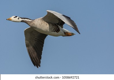 Bar Headed Goose In Flight. The bird is pale grey and is easily distinguished from any of the other grey geese of the genus Anser by the black bars on its head.