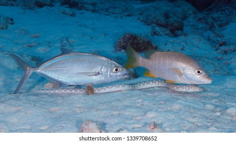 Bar Jack and Schoolmaster following a Sharptail Eel as it feeds in the sandy bottom of a coral reef - Bonaire