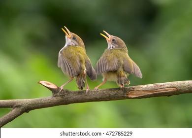 Bar winged prinia singing at tree branch, Singing bird