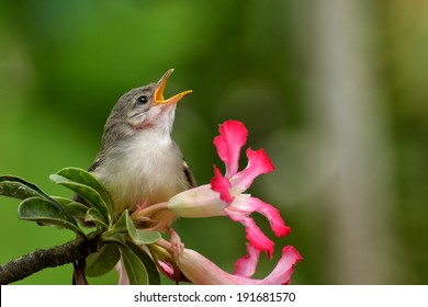 Bar Winged Prunia ( singing bird )