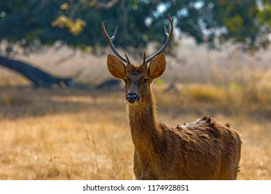 A Barasingha in the late afternoon light in the Kanha National Park, Madhya Pradesh, India