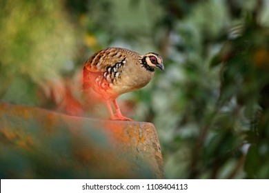 Bar-backed partridge, Arborophila brunneopectus, bird in the nature habitat. Quail sitting in the grass. Partridge from southwestern China and Southeast Asia.