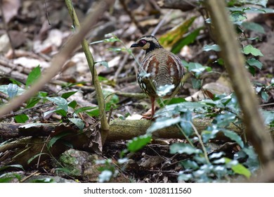 Bar-backed Partridge (Arborophila brunneopectus)also known as the brown-breasted hill-partridge,is a species of partridge in the family Phasianidae. It is found in Thailand.