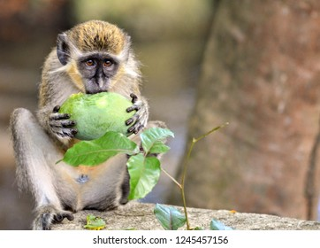 Barbados Green Monkey on the West Coast