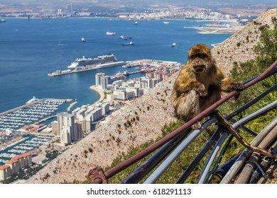 A barbary ape sitting on a railing on the rock of Gibraltar, UK. (Sep 2016)