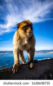 barbary ape at the tourist spot on the mountaintop of Gibraltar