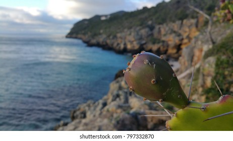 Barbary fig - Opuntia ficus-indica - cactus  by the sea