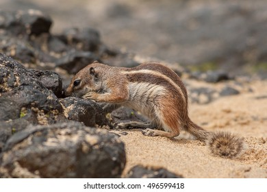 Barbary ground squirrel searching for food (atlantoxerus getulus), Fuerteventura, Canary Islands
