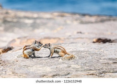 Barbary Ground Squirrels (Chipmunks) in Fuerteventura, Canary Islands