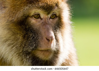 Barbary Macaque face close up