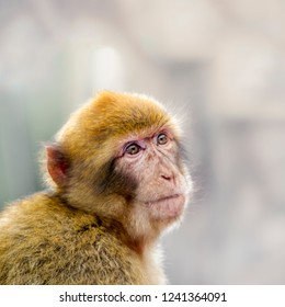 Barbary macaque from Gibraltar