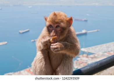 Barbary macaque, Gibraltar, British Overseas Territory