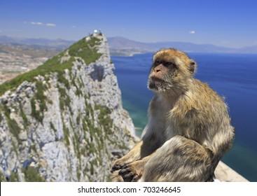 Barbary macaque in Gibraltar, Gibraltar (British Overseas Territories)