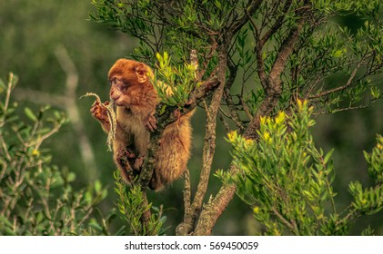 Barbary macaque in Gibraltar, Europe
