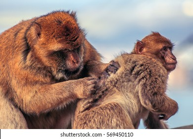 Barbary macaque in Gibraltar, Europe