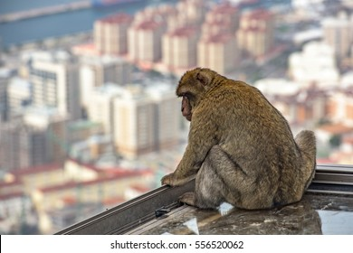 Barbary macaque, looking down on the city of Gibraltar below.