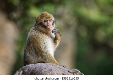 Barbary macaque - Macaca sylvanus also Barbary ape or magot, found in the Atlas Mountains of Algeria and Morocco along with a small population of uncertain origin in Gibraltar.
