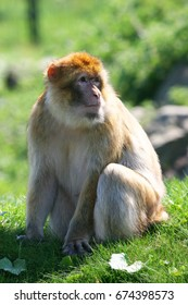 barbary macaque, macaca sylvanus, watching backwards for possible danger