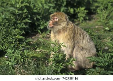 Barbary macaque (Macaca sylvanus),Magot  native to Morocco, Algeria and Gibraltar