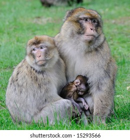 Barbary Macaque Monkey.