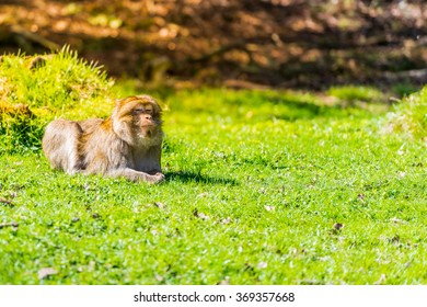 Barbary macaque monkey breathing spring.
