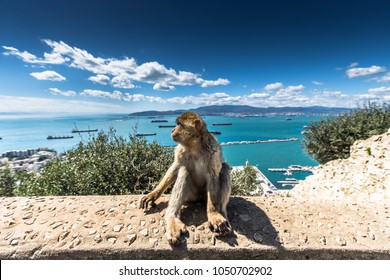 The Barbary Macaque monkeys of Gibraltar. The only wild monkey population on the European Continent. At present there are 300+ individuals in 5 troops occupying the Gibraltar nature reserve.
