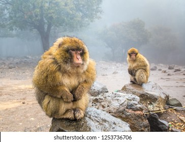 Barbary Macaque Monkeys sitting on ground in the great Atlas forests of Morocco, Africa