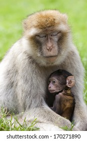 Barbary macaque mother and youngster