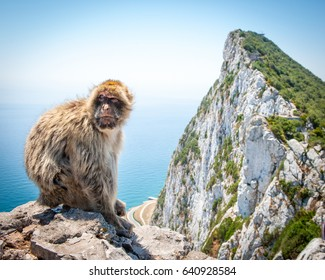 Barbary macaque on Rock of Gibraltar